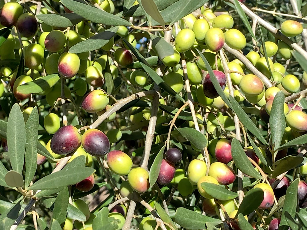 La Ciera, oliva tipica ciociara pipolà