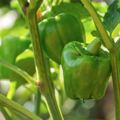 Peperoni biologici - Laboratorio agricolo ciociaro - agricoltura biodinamica - prodotti biologici online, verdure di stagione online