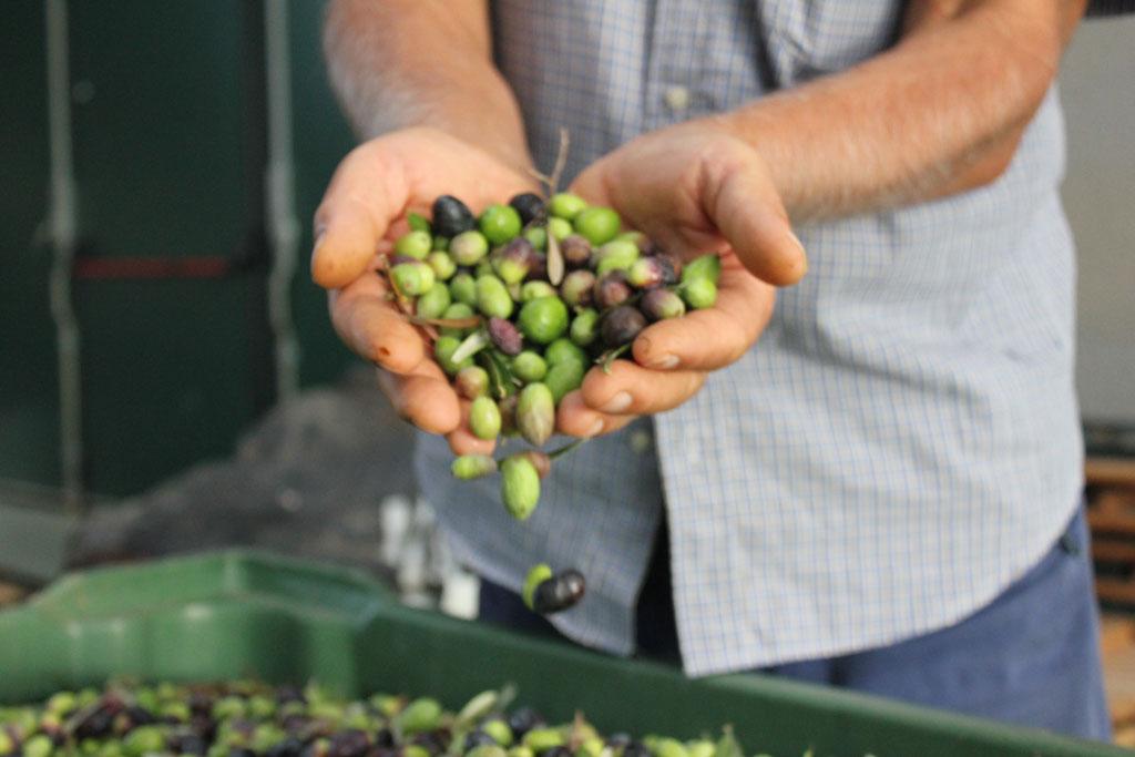 Olio extravergine di oliva ciociaro - Pipolà - Prodotti tipici Ciociari - stagione della molitura shop online prodotti tipici ciociari ricette tipiche ciociaria