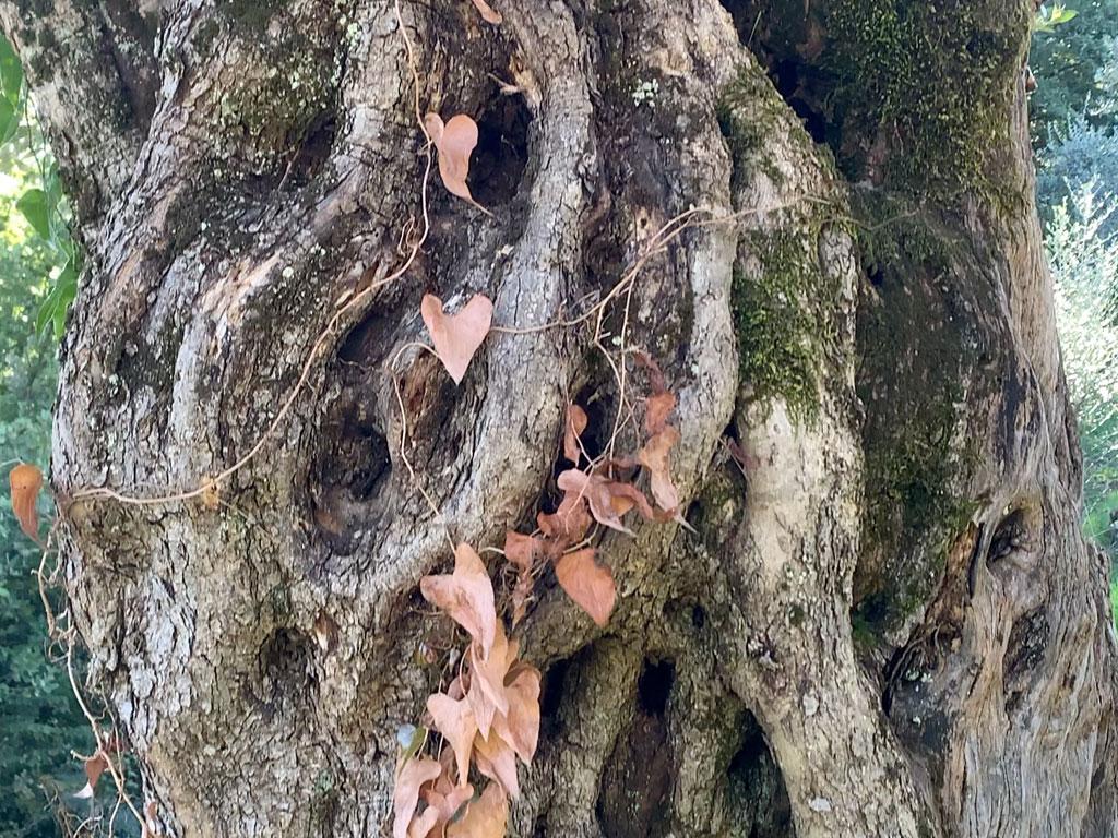 la ciera albero millenario ciociaria