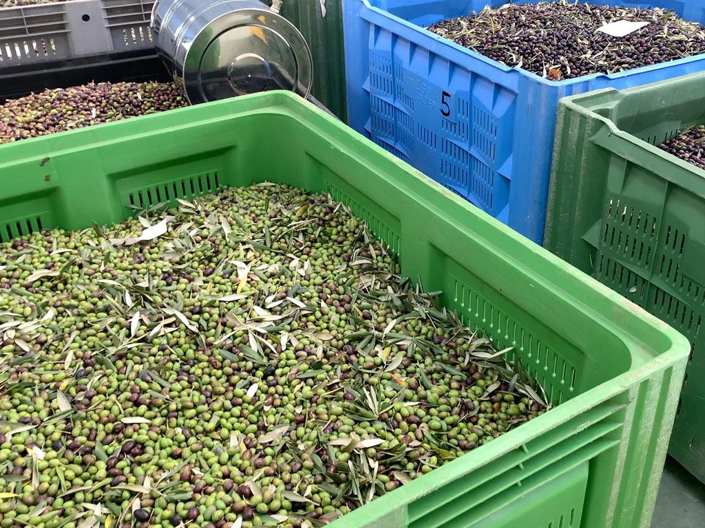 la ciera dei colli olive tipiche della ciociaria