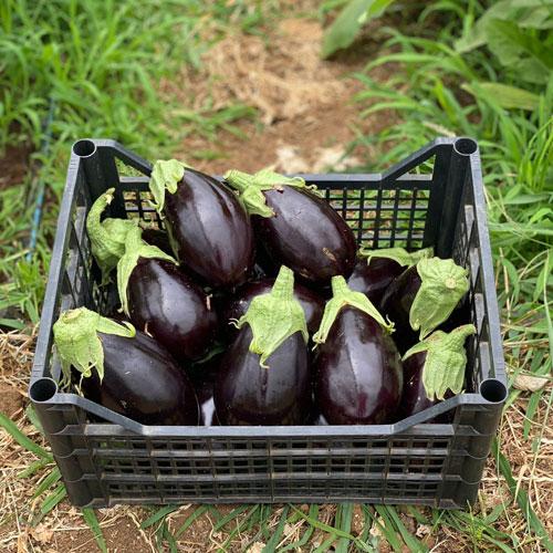 Melanzane - Laboratorio agricolo ciociaro - agricoltura biodinamica - prodotti biologici online, verdure di stagione online