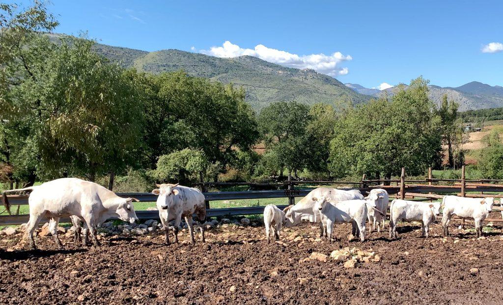 mucche amaseno prodotti tipici ciociari