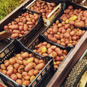 patate rosse pipolà ciociaria resalio prodotti tipici ciociari
